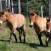 Horses brought back from brink-of-extinction come to Edinburgh